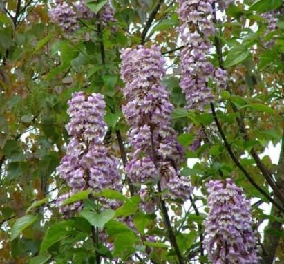 fleurs de pauwlonia